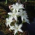 Menyanthes trifoliata inflorescence 3.jpg