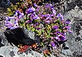 Menzie's Penstemon on Sourdough Ridge.jpg