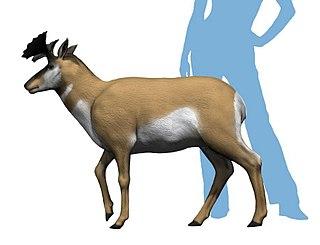 <i>Merriamoceros</i> an extinct genus of antilocapridae