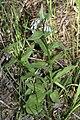 Mertensia oblongifolia 9507.JPG
