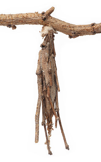 Bagworm moth - Bag of Metura elongatus which can grow to more than 120mm in length