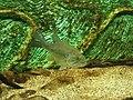 Micropterus salmoides, Acquario del Po.jpg