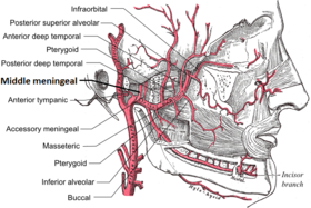 Middle meningeal artery.png
