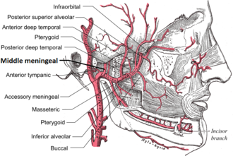 Middle meningeal artery - Plan of branches of the maxillary artery.