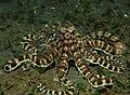 Mimic Octopus 7.jpg