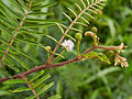 Mimosa pudica-IMG 0742.JPG