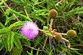 Mimosa pudica2.jpg