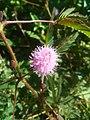 Mimosa pudica (Fabaceae) 08.jpg