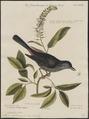 Mimus carolinensis - 1700-1880 - Print - Iconographia Zoologica - Special Collections University of Amsterdam - UBA01 IZ16300331.tif