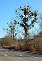 Mistelbäume Marburg.jpg