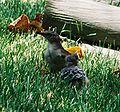 Mockingbird Feeding Chick001.jpg