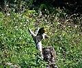 Modest Tiger Parrot. Psittacella modesta (48885370433).jpg