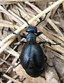 Modri hrosc - Big bug (6246897503).jpg