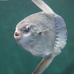 Ocean sunfish - Wikipedia