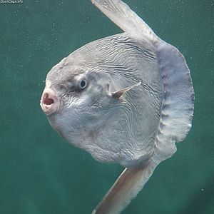 Ocean sunfish - The ocean sunfish is the heaviest of all bony fishes. It has a flattened body and is as tall as it is long. It feeds mainly on jellyfish.