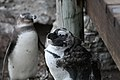 Molting African Penguin (2908194534).jpg