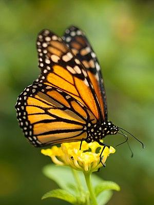 Monarch butterfly - Monarch butterfly