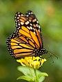 Monarch butterfly in Grand Canary.jpg
