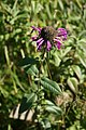 Monarda-didyma-flower-head.jpg