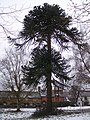 Monkey Puzzle Tree in Goddard's Green - geograph.org.uk - 1709556.jpg