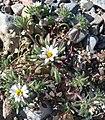 Monoptilon bellioides 3.jpg