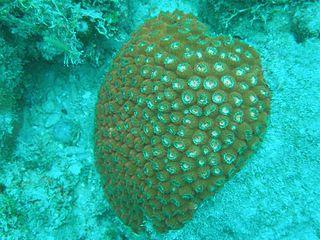 <i>Montastraea</i> Genus of corals