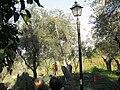 Montecolognola Olive harvest.JPG