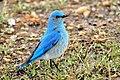 Mountain Bluebird on Seedskadee National Wildlife Refuge (26798523275).jpg
