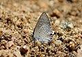 Mudpuddling Butterflies Chinnar WLS Kerala (75).jpg