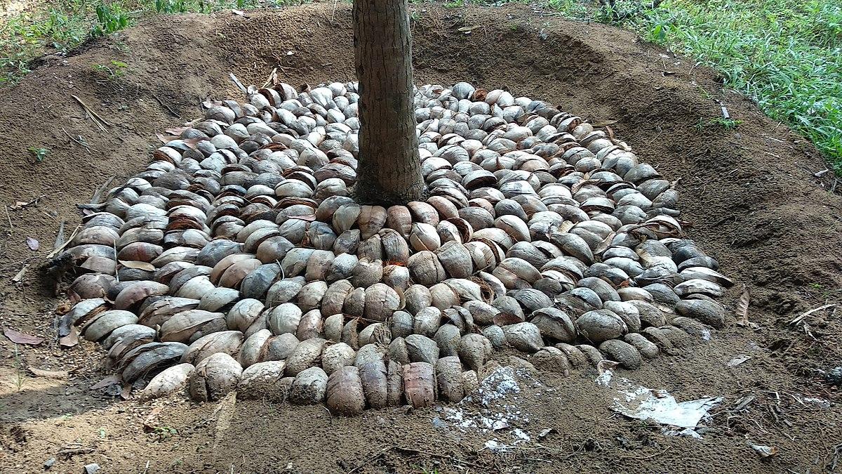 Mulching coconut 01.jpg