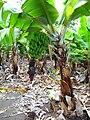 Musa acuminata Gran Canaria 2.JPG