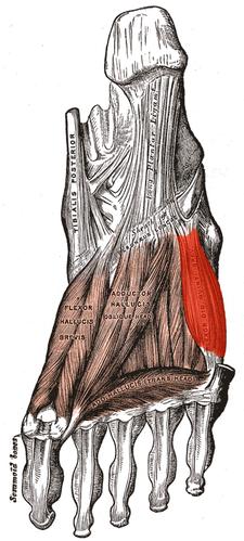 musculus flexor digiti minimi brevis