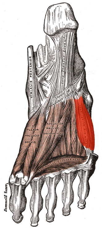 Flexor digiti minimi brevis muscle (foot) - Muscles of the sole of the foot. Third layer. (Flexor dig. quint. brev. labeled at center right.)