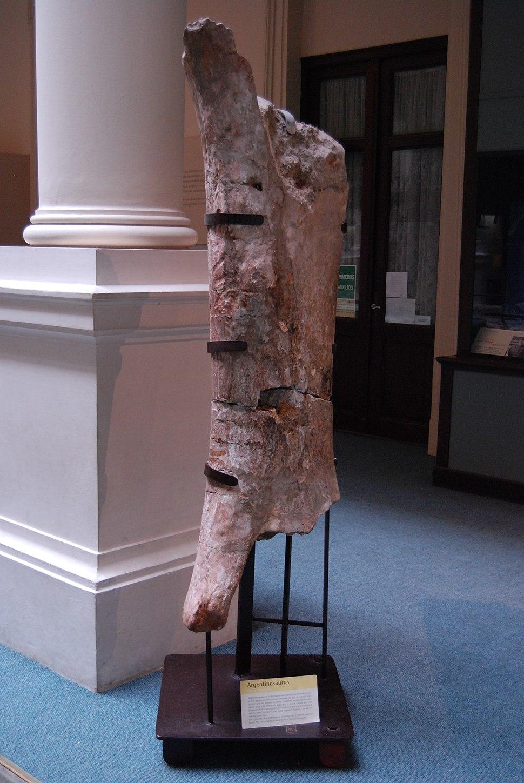 Museo de La Plata - Argentinosaurus (fémur)