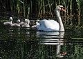 Mute swan (Cygnus olor) and cygnets.jpg