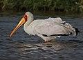 Mycteria ibis -near Lake Nakuru, Kenya-8.jpg