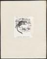 Myrmecobius fasciatus - 1872 - Print - Iconographia Zoologica - Special Collections University of Amsterdam - UBA01 IZ20300166.tif