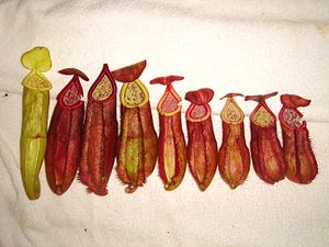 Nepenthes andamana - A collection of lower, intermediate, and upper pitchers of N. andamana