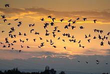 אווזים נודדים