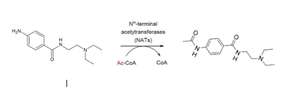 Acecainide - Acetylation of procainamide into acecainide