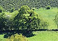 Nachrodt-Wiblingwerde-NaturdenkmalHexeneiche-1-Bubo.JPG