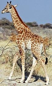 Mythes et légendes : Girafe dans GIRAFE 170px-Namibie_Etosha_Girafe_04