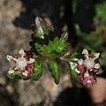 Nanocnide japonica (flower s6).jpg