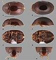 Nanosaphes (10.3897-zookeys.768.24423) Figure 15.jpg