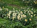 Narcissus (flowerbed) 01.JPG