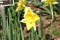 Narcissus Fortissimo 0zz.jpg