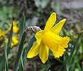 Narcissus R01.jpg
