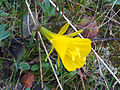 Narcissus bulbocodium 2009Mach15 Closeup2 DehesaBoyalPuertollano.jpg