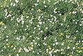 Narcissus poeticus1.jpg