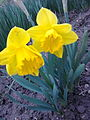 Narcissus pseudonarcissus - 1001.jpg